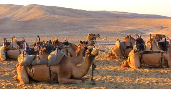 Camels at Kfar Hanokdim