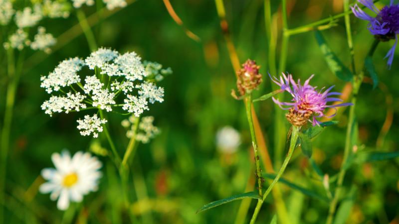 lithuanian wildflowers
