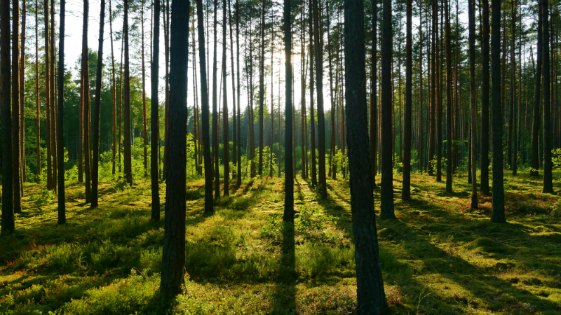 forest in lithuania